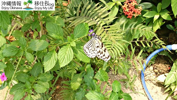 亜熱帯植物楽園のオオゴマダラ
